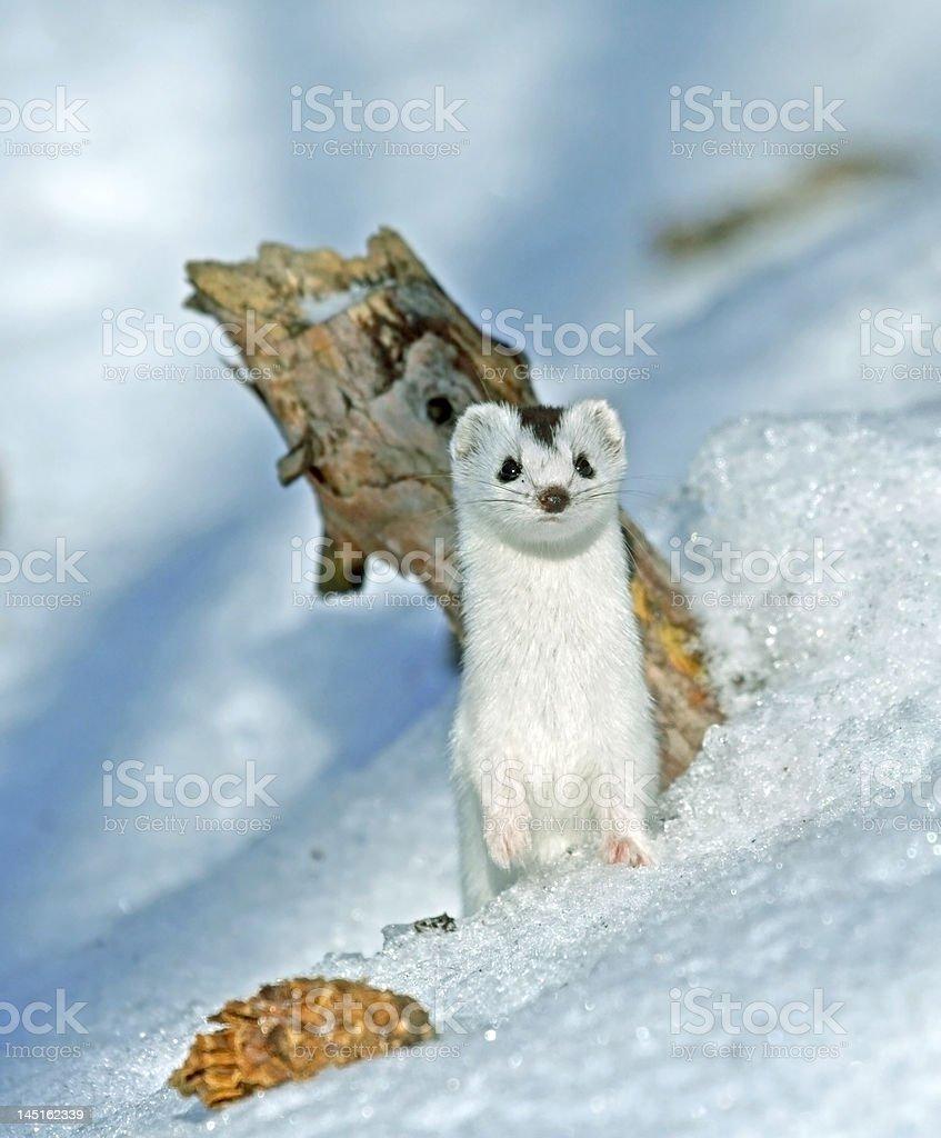 Weasel ( Mustela nivalis ) royalty-free stock photo