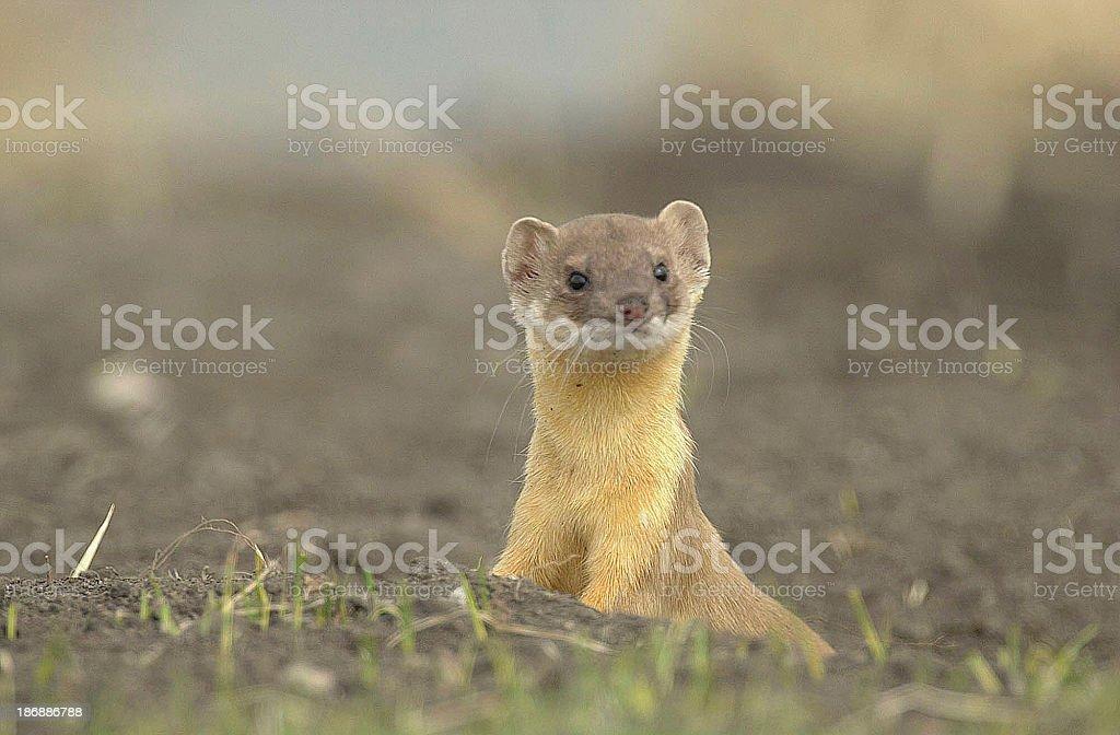 Weasel stock photo