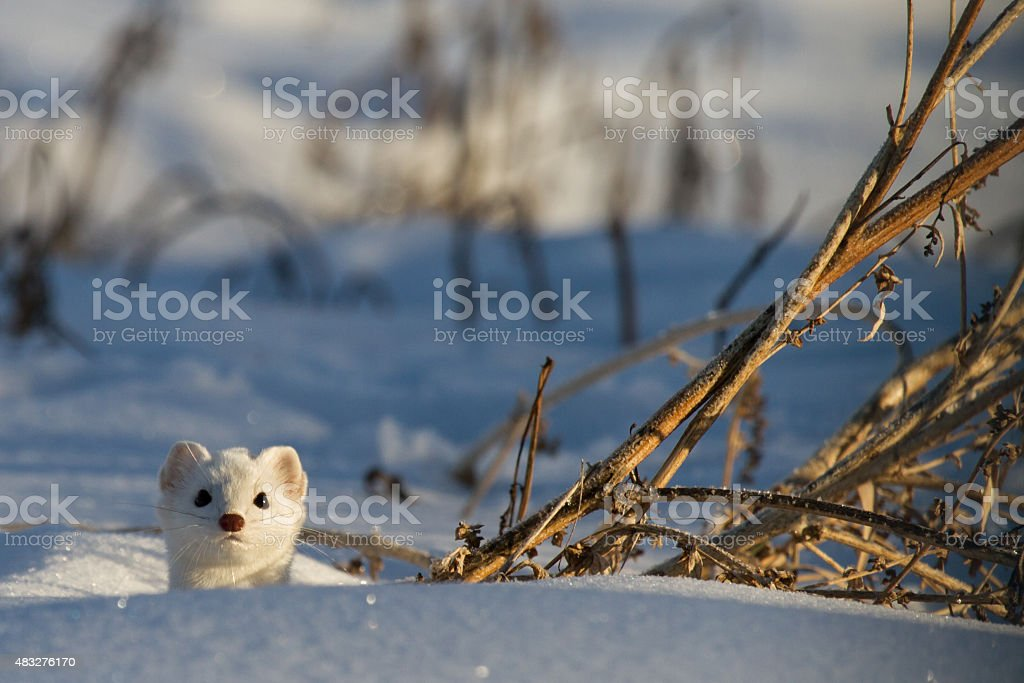 Weasel pops head through snow stock photo