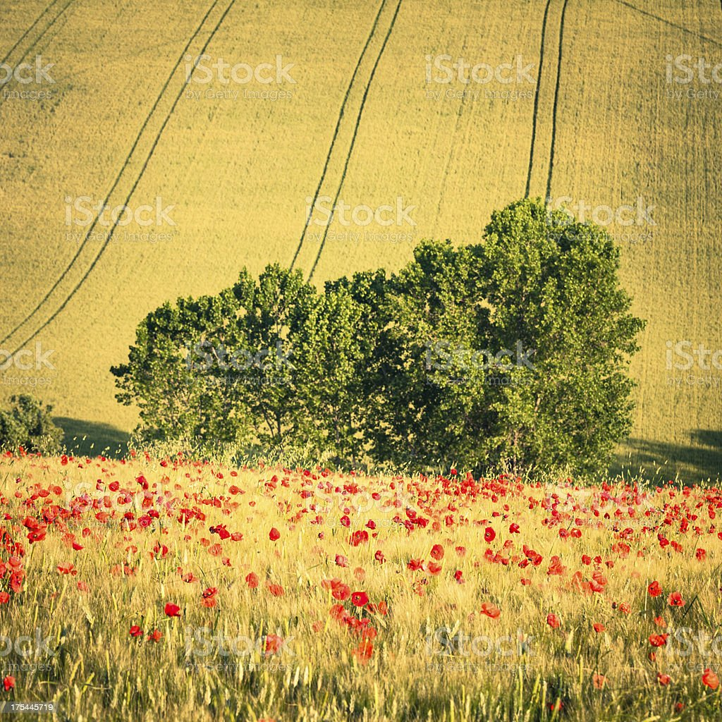 Weath Field with red Poppy Flowers, Tuscany, Val d'Orcia royalty-free stock photo