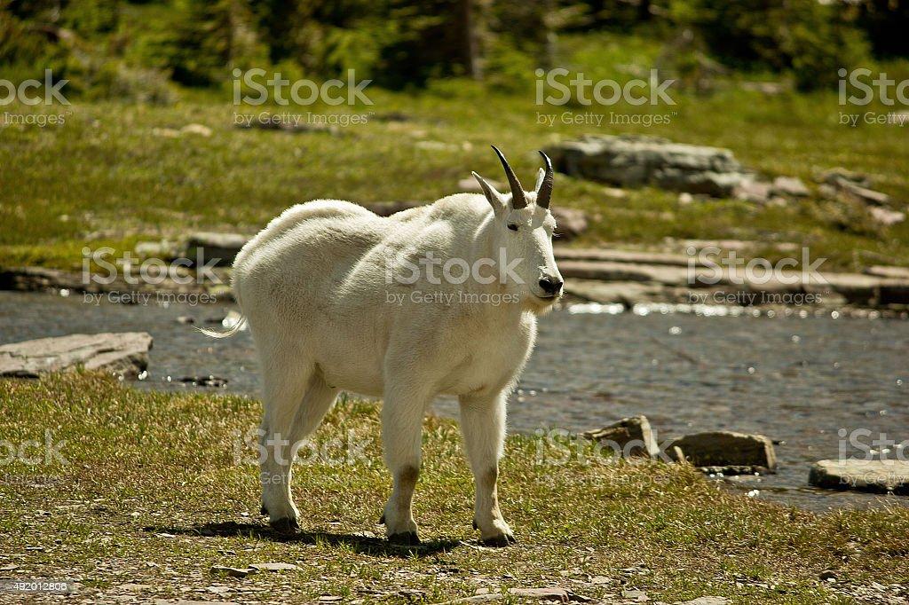 Weather worn mountain goat stock photo