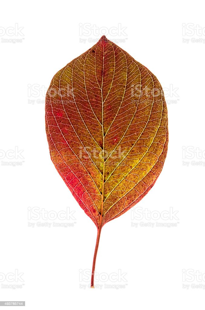 Weathered beech leaf in autumn stock photo