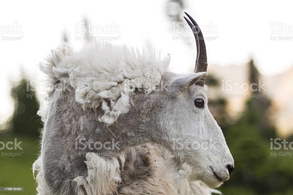 Weathered Mountain Goat royalty-free stock photo