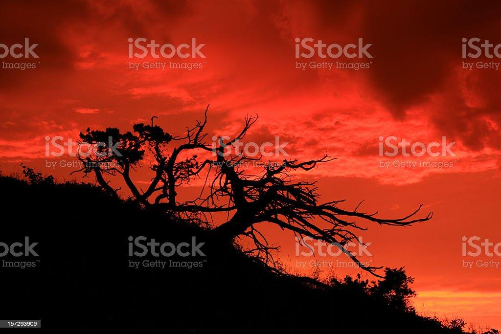 Weathered Pine royalty-free stock photo