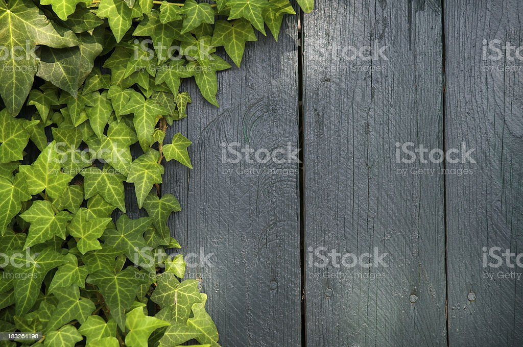 Weathered Wood Fence With Ivy royalty-free stock photo
