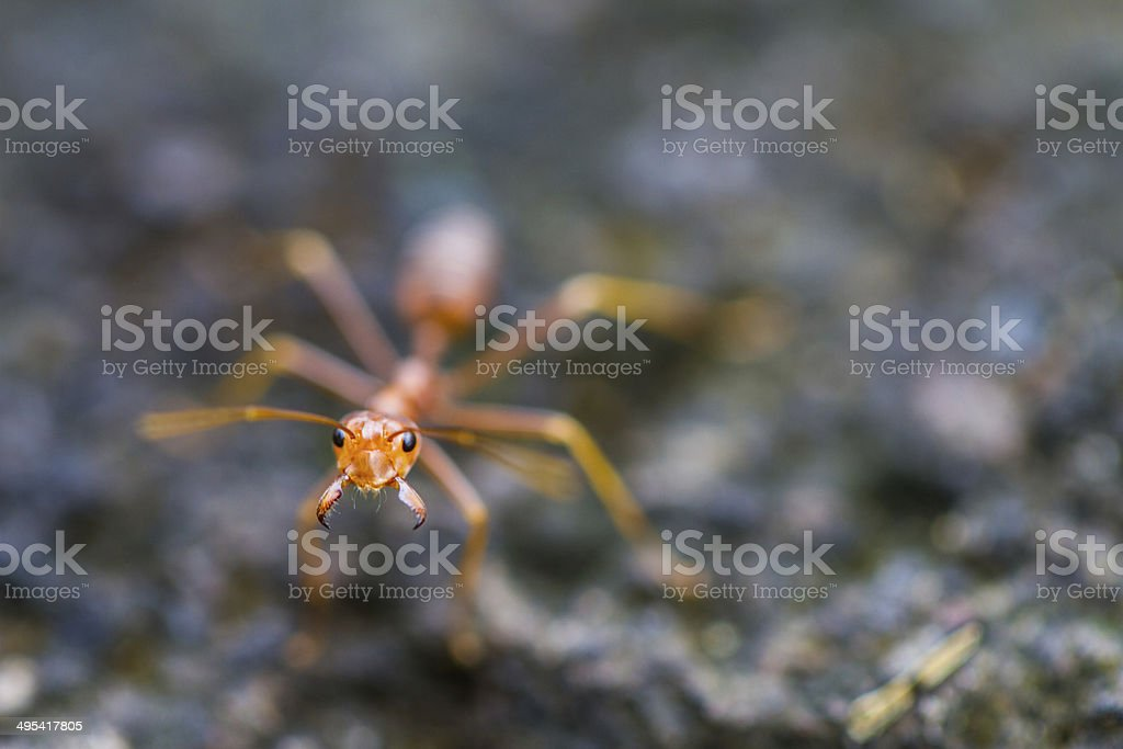 Weaver ant close-up royalty-free stock photo