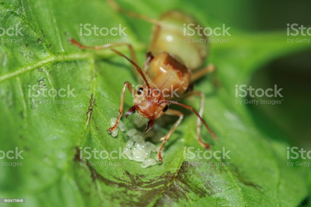 Weaver ant queen guarding her eggs stock photo