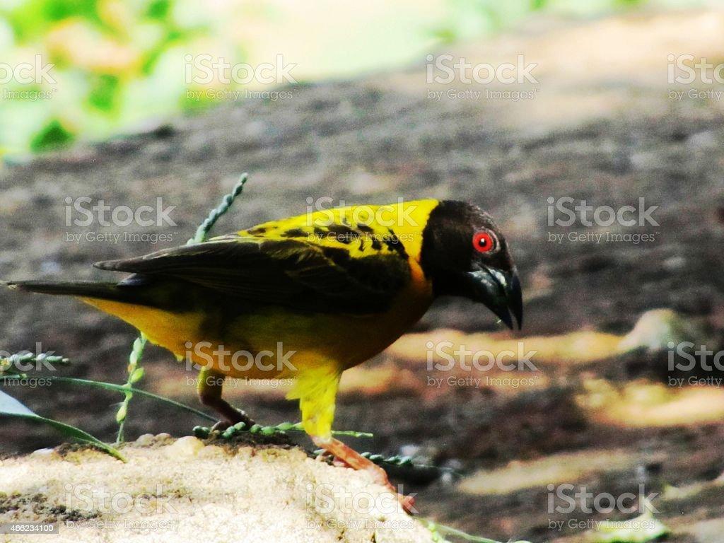Weaver bird black yellow in Kenya stock photo