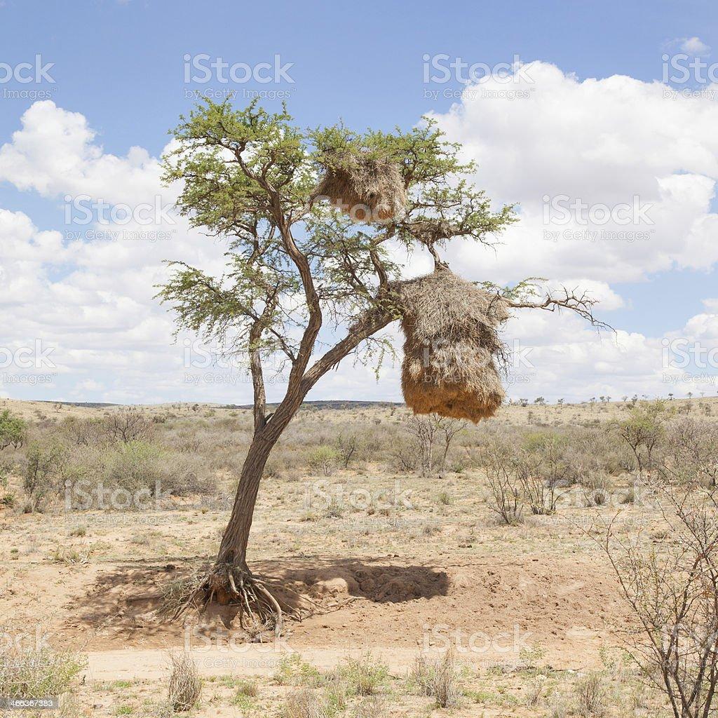 Weaver bird nest in Namibia, Africa royalty-free stock photo