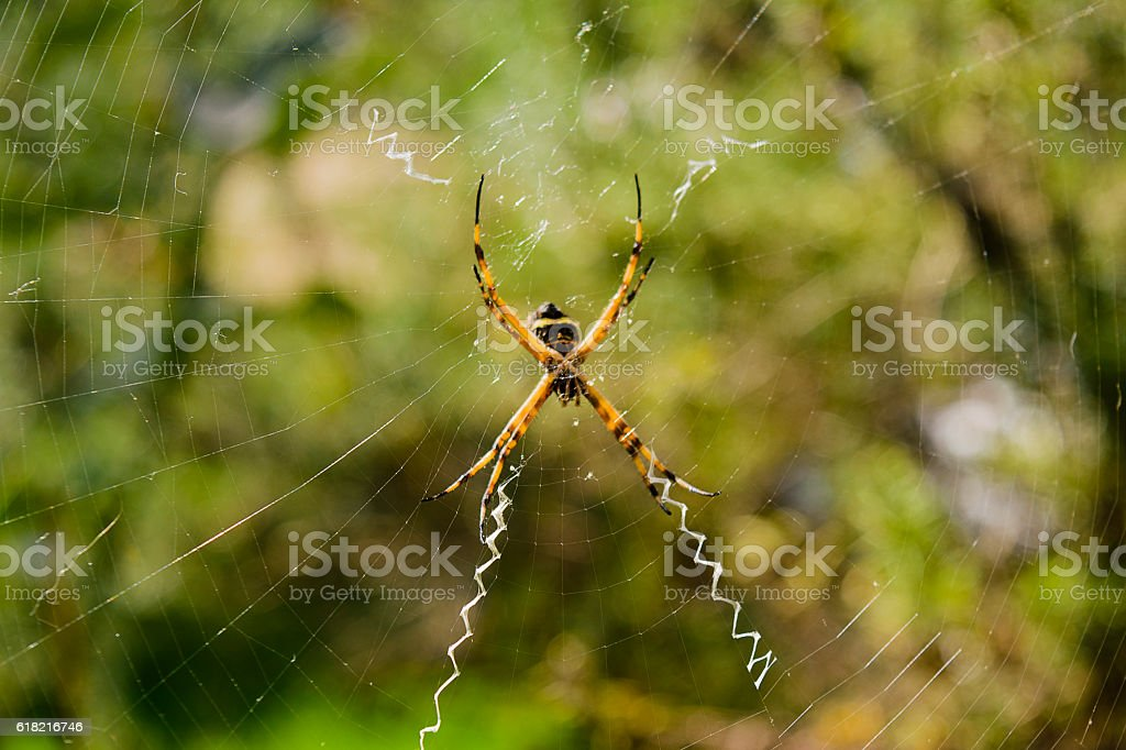 Weaver spider garden is an interesting and feared arachnid stock photo