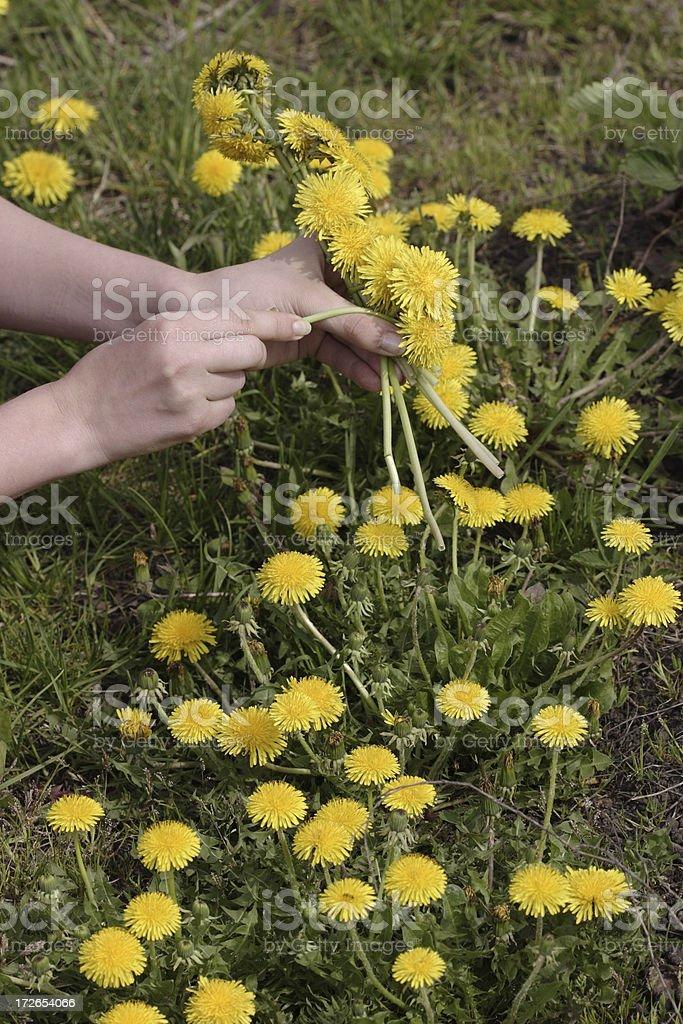 Weaving the dandelions wreath stock photo