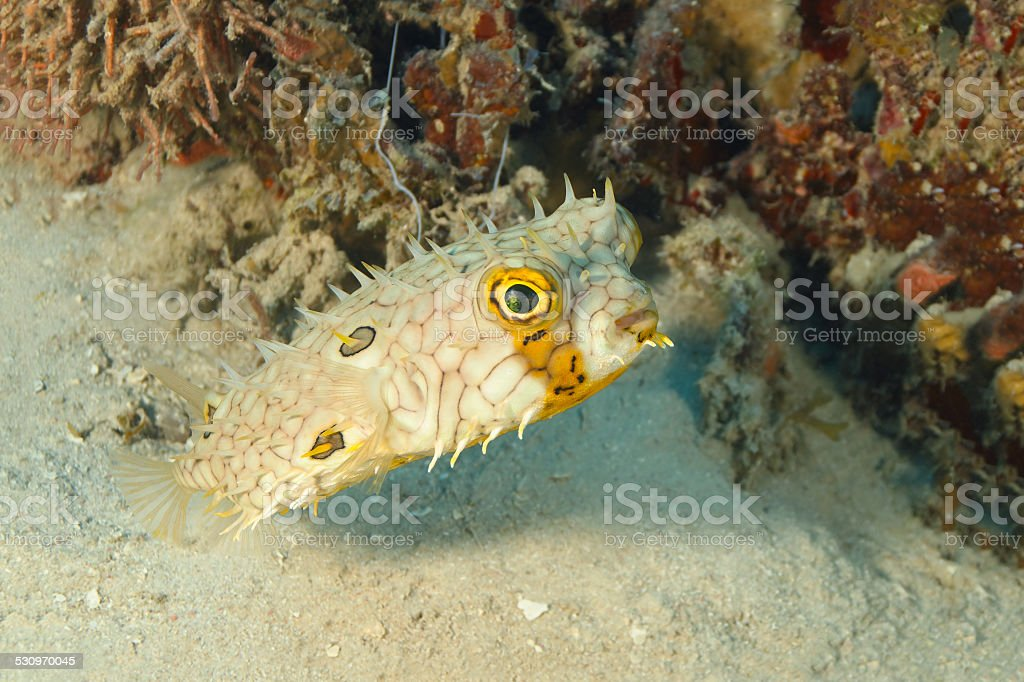 Web Burrfish Swimming Next to a Patch of Coral Reef stock photo