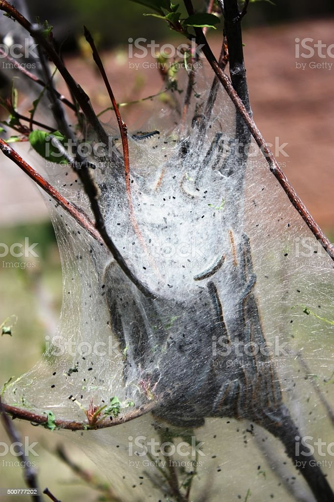 Web of tent caterpillars in a fruit tree stock photo