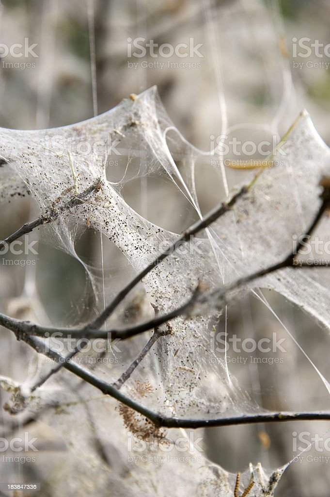 Web of the Ermine mot stock photo