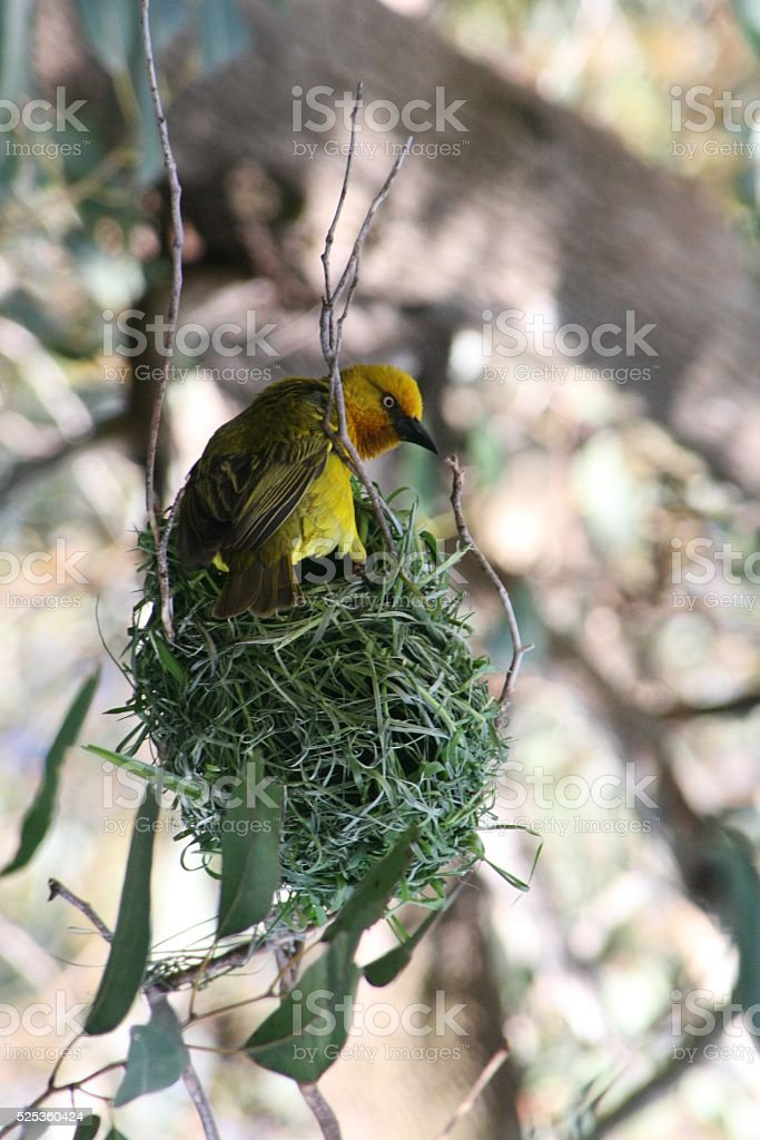 Webervogel stock photo