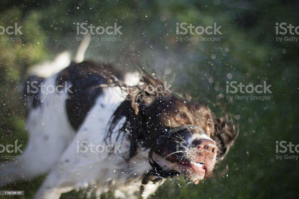 Wed dog shaking royalty-free stock photo