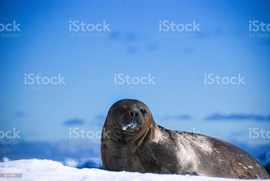 Weddell Seal stock photo