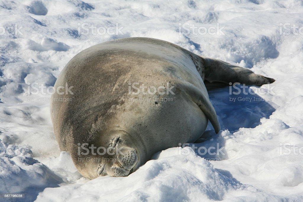 Weddell seal sleeping on an iceberg in Neko Habour, Antarctica stock photo