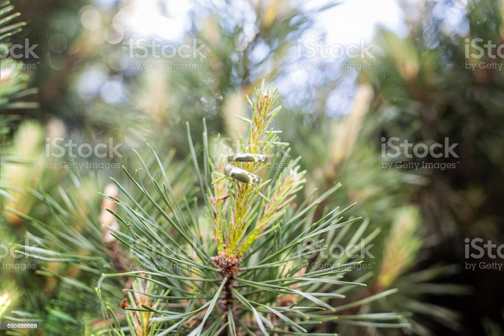 Wedding rings hanging on a branch of a coniferous tree stock photo