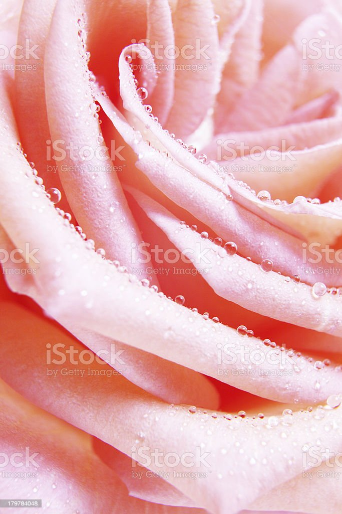 wedding rose royalty-free stock photo