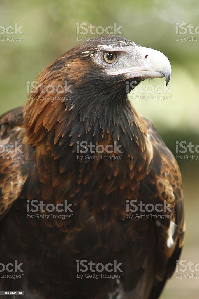 Wedge Tail Eagle stock photo