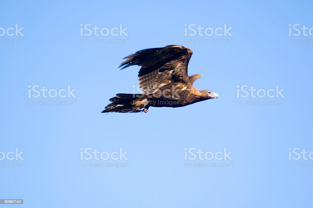 Wedge Tailed Eagle in Flight stock photo