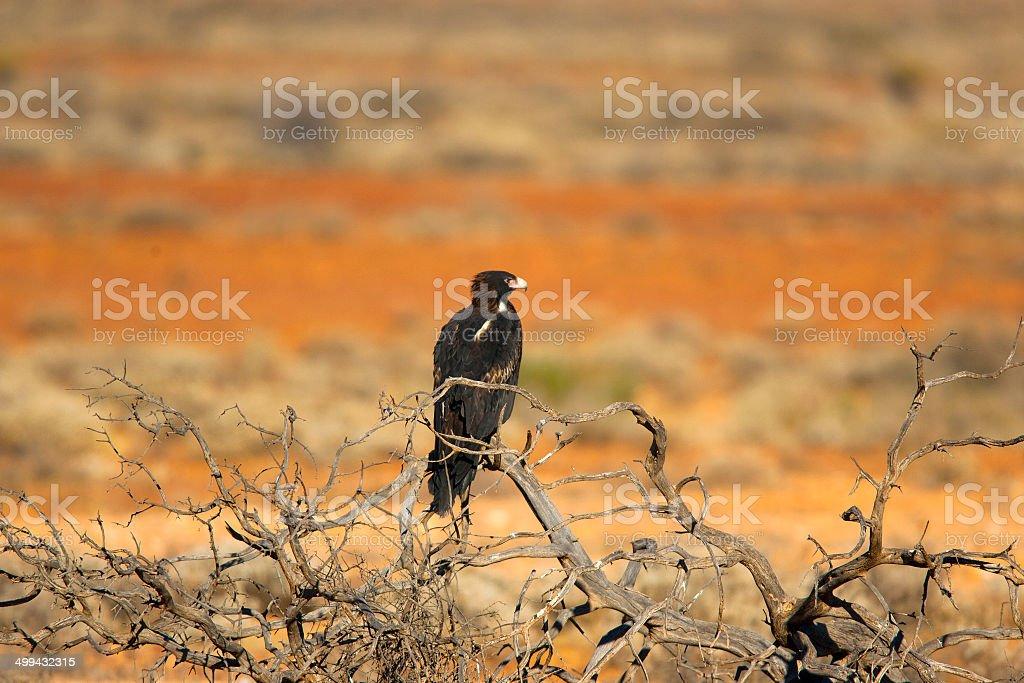 Wedge Tailed Eagle, Northern Territory, Australia royalty-free stock photo