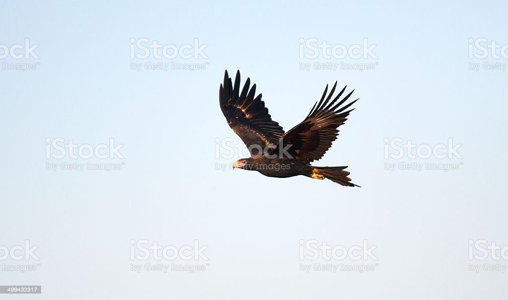 Wedge Tailed Eagle, Northern Territory, Australia stock photo