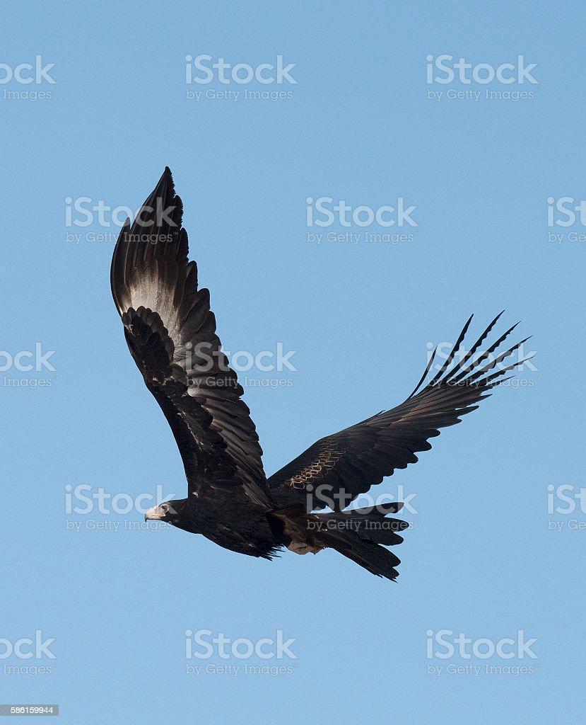 wedge tailed eagle stock photo