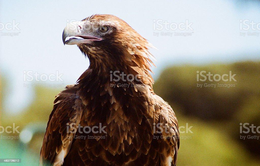 Wedge tailed eagle side profile stock photo