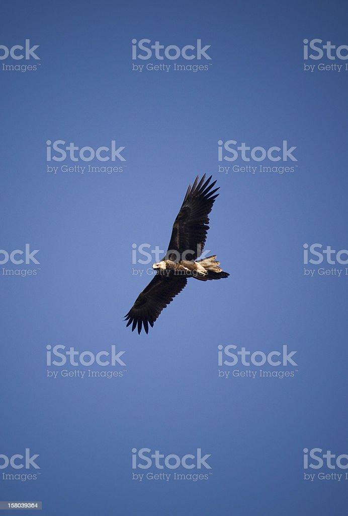 Wedge-tail Eagle stock photo