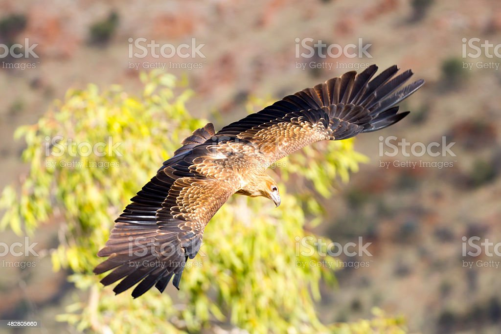 Wedge-Tailed Eagle in Flight stock photo