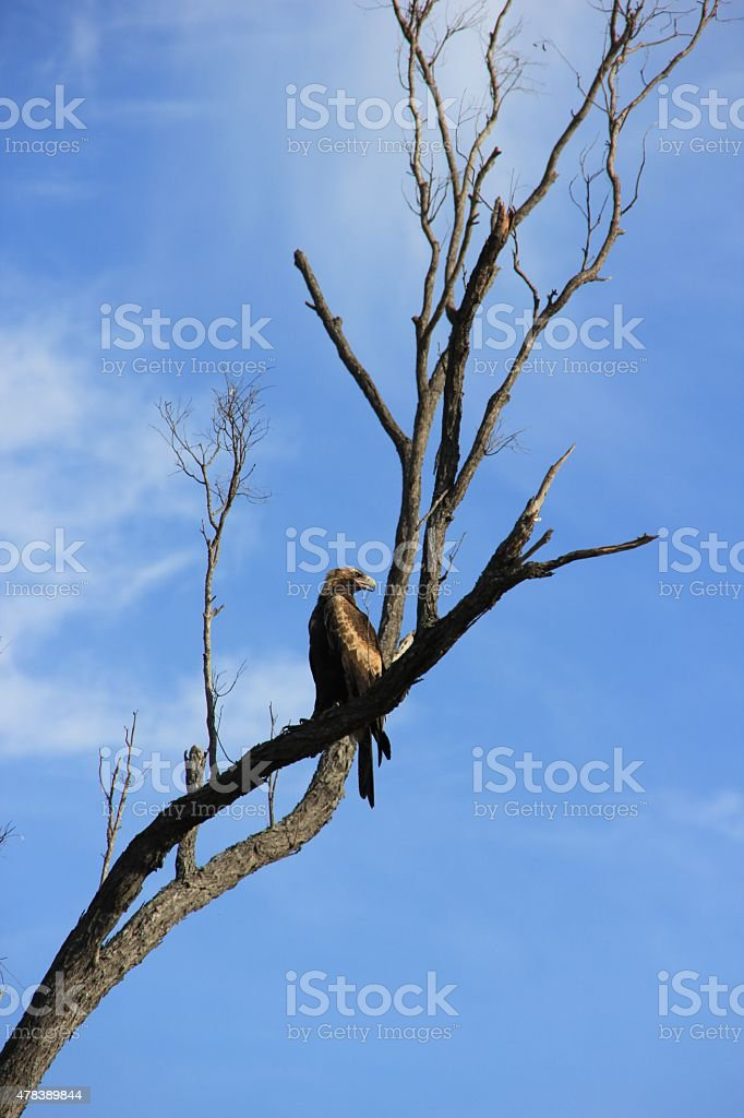 Wedge-tailed eagle perching in a tree stock photo