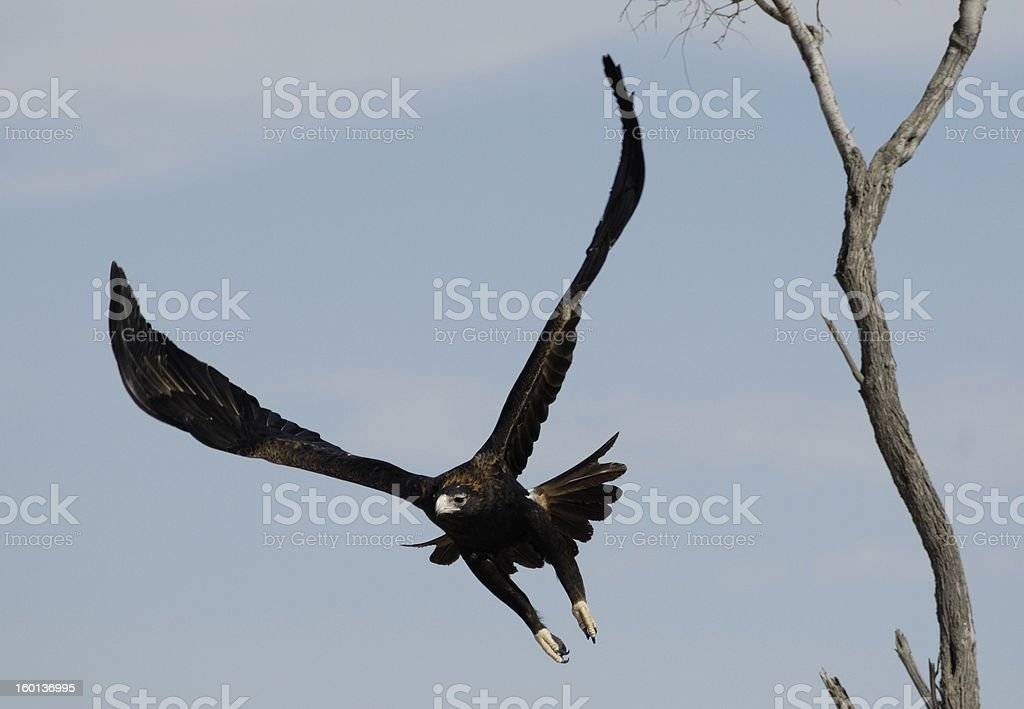 Wedge-tailed eagle stock photo