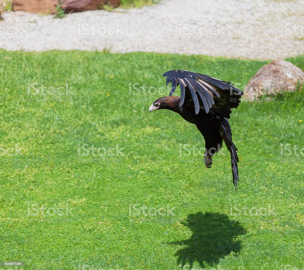 Wedge-tailed Eagle preparing to attack stock photo