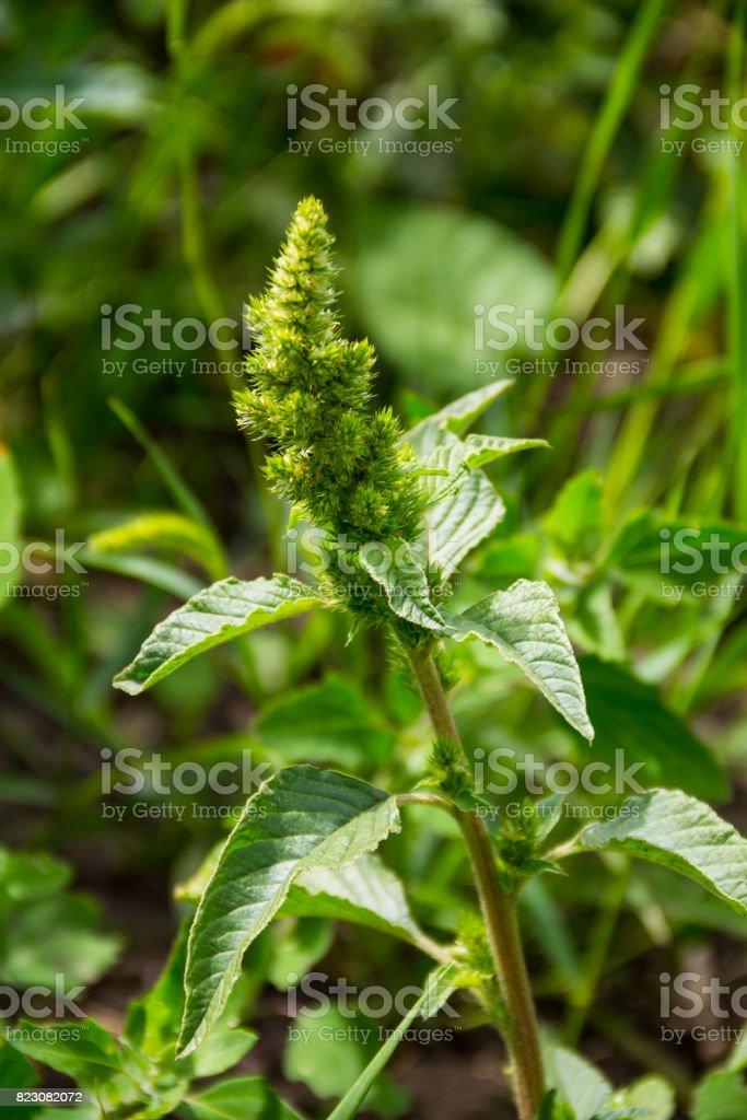 Weed and medicinal plant Amaranthus retroflexus stock photo