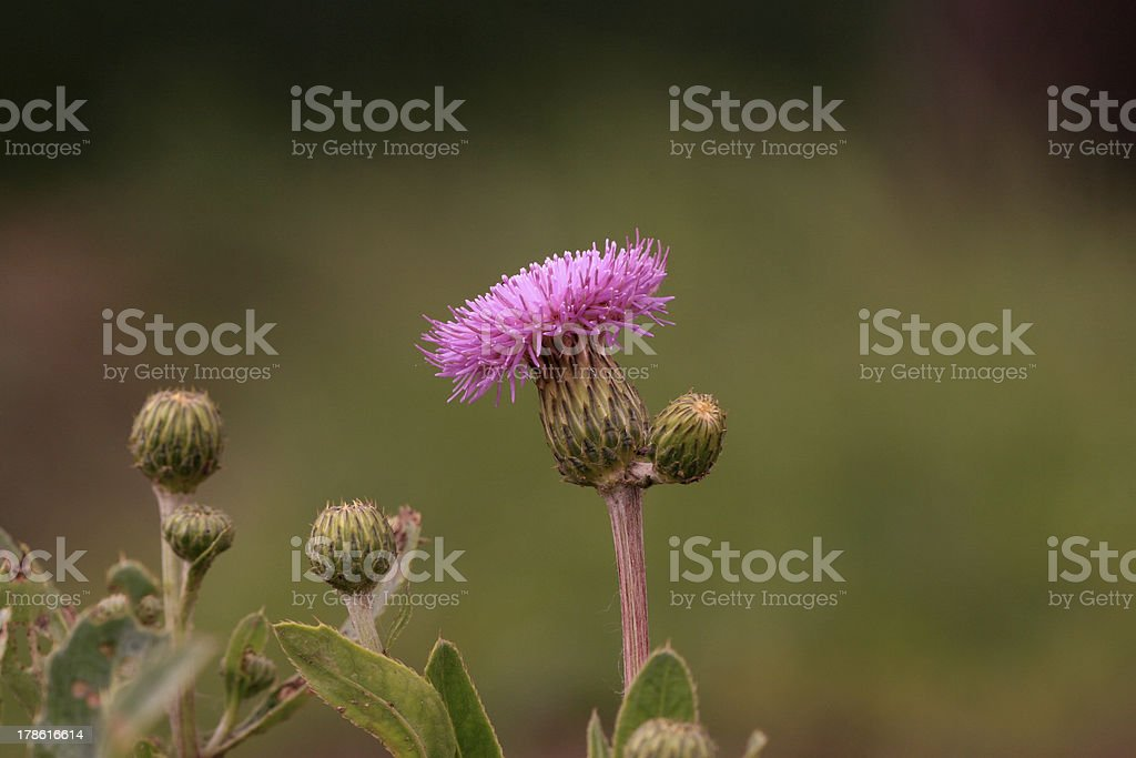weed flowers royalty-free stock photo