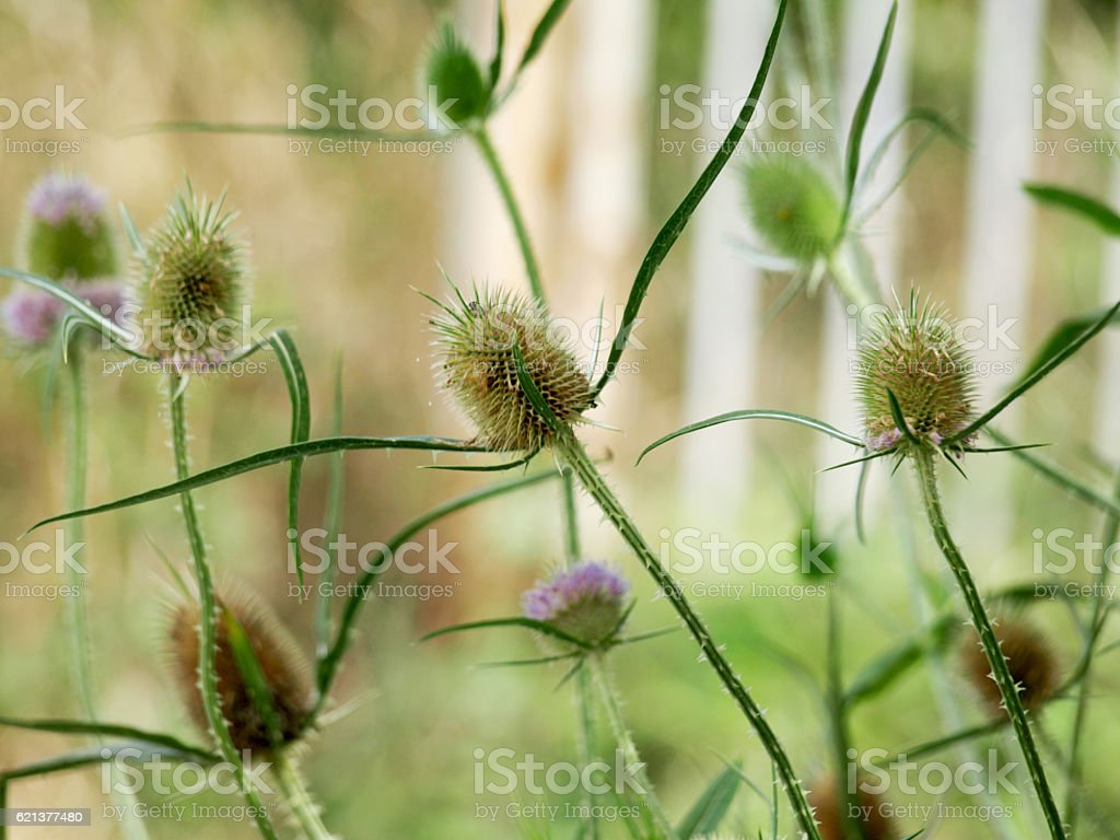 Weed Flowers stock photo