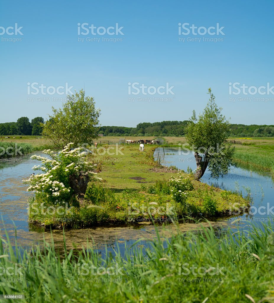 Weed island with cows in  meadows with small forest stock photo
