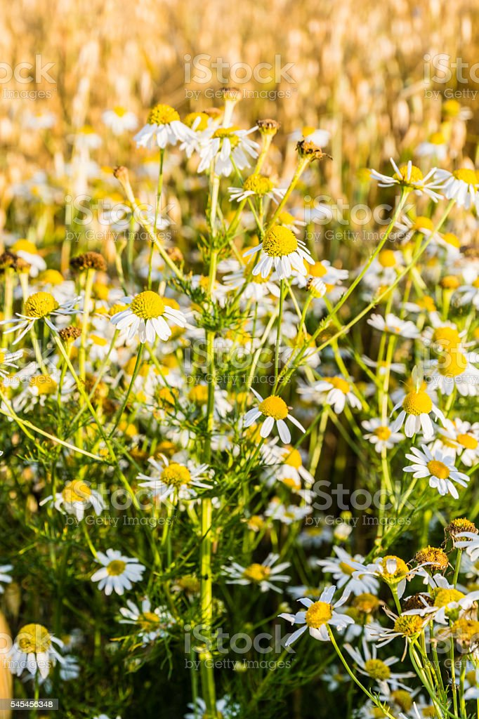 Weed of cultivated fields - Tripleurospermum indorum. stock photo