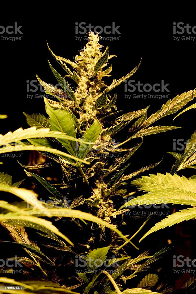 weed plant royalty-free stock photo