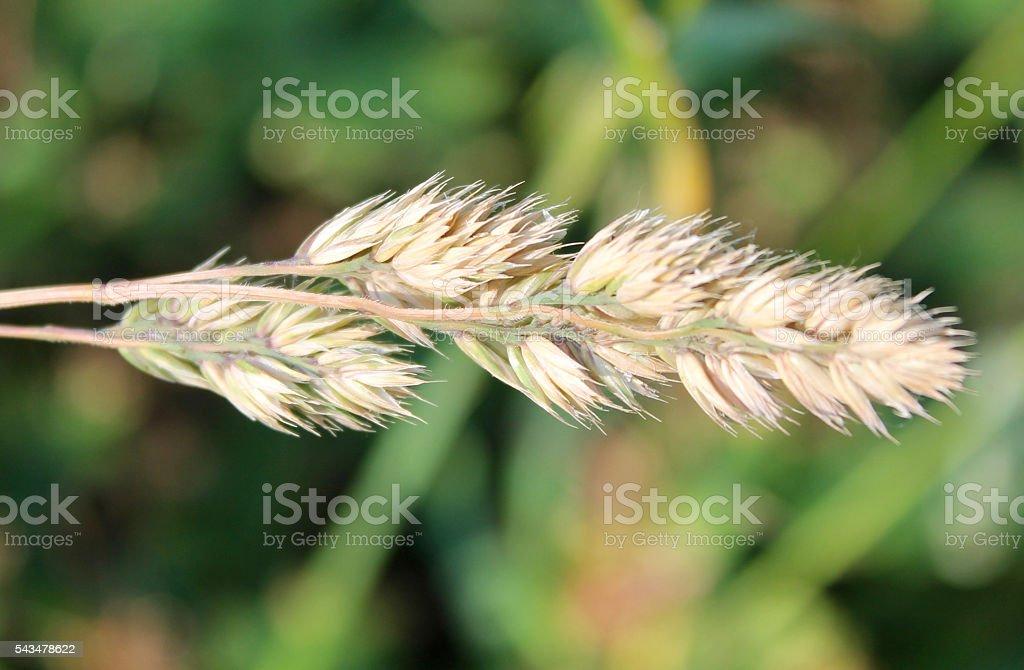 Weed Tare stock photo