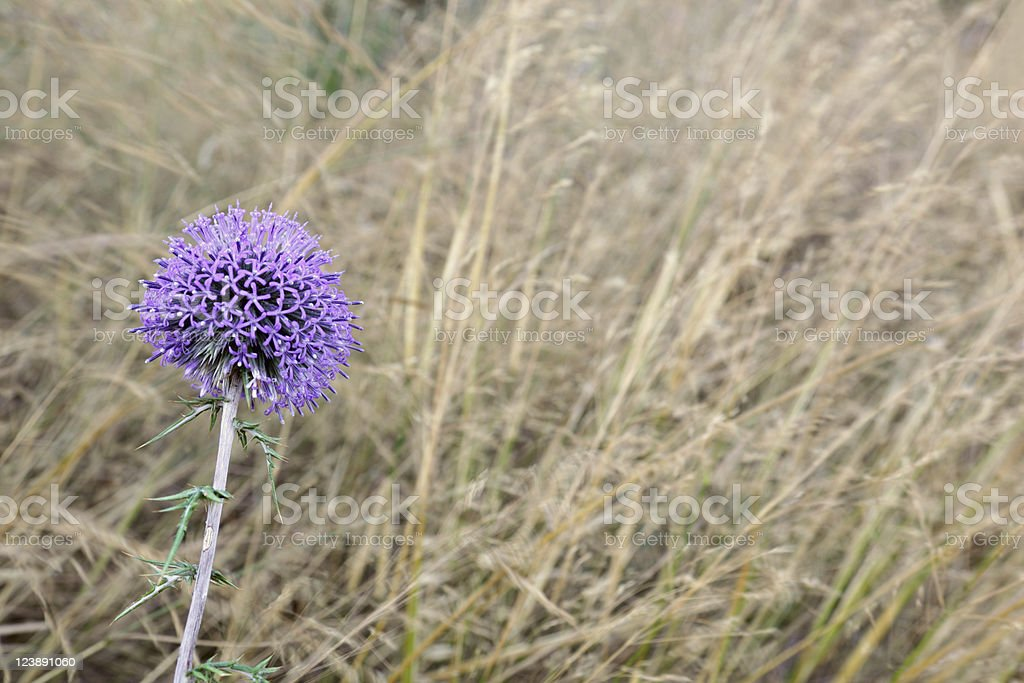 Weed with violet Flower in the field royalty-free stock photo