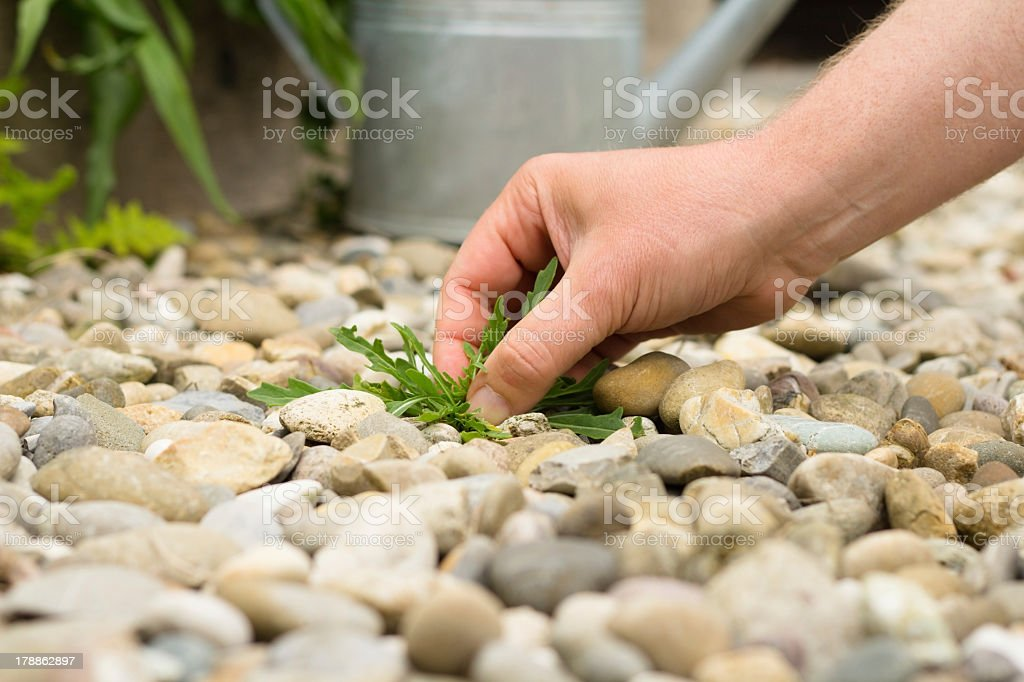 Weeding a gravel path stock photo