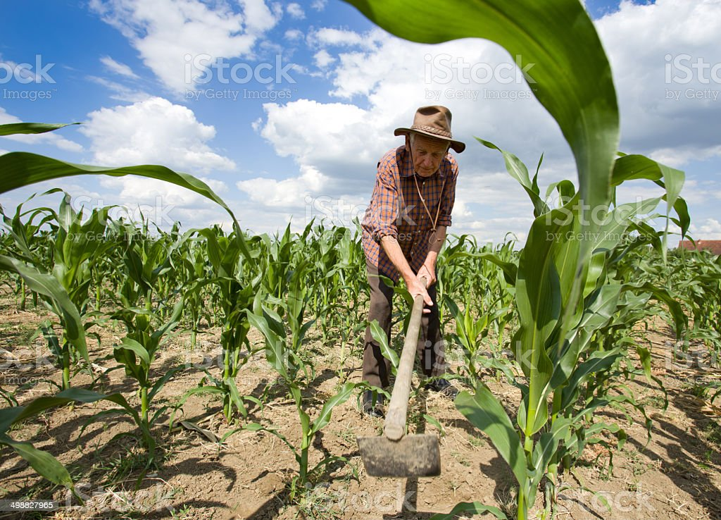Weeding corn field with hoe stock photo