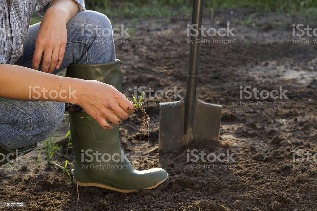 Weeding of kitchen garden stock photo