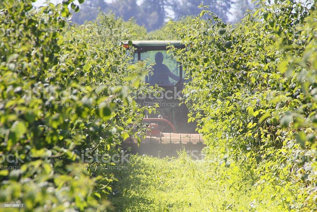 Weeding the Raspberry Crop stock photo