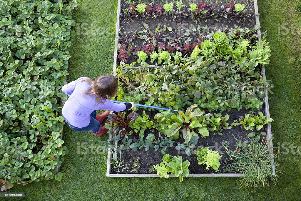 Weeding Veg Patch Gardener from Overhead stock photo