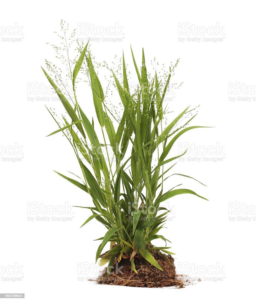 Weeds Isolated stock photo