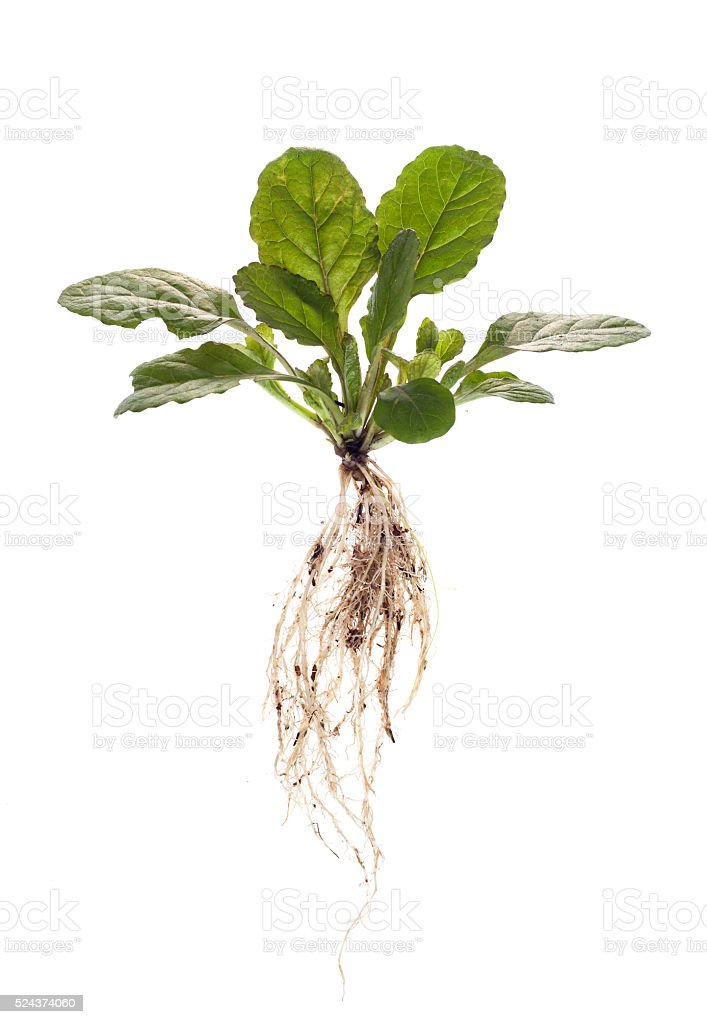 weeds with root on  isolated stock photo